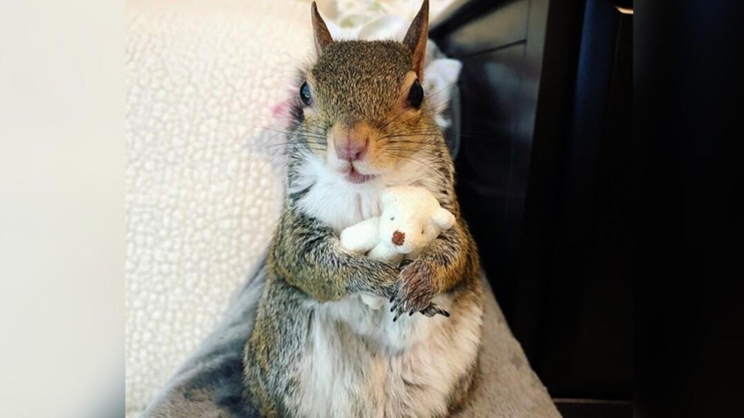 Wiewiórka i jej miś. Bawi się z nim i razem śpią
