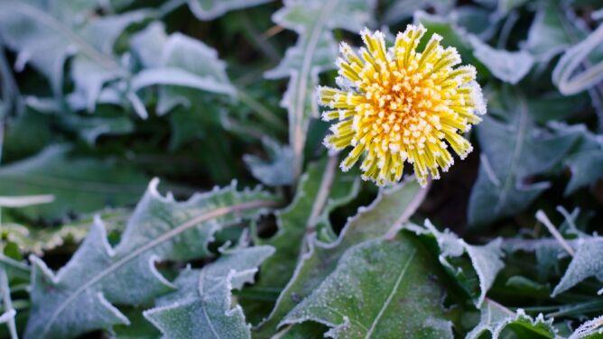 Zimni ogrodnicy. Czym jest to zjawisko i czy wystąpi w tym roku