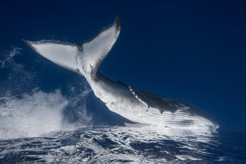 Wieloryb na zdjęciu Jakuba Degee