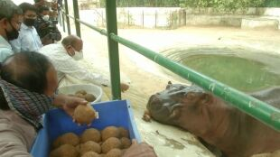 Kulki z ciecierzycą w syropie. Tak hipopotam świętował urodziny